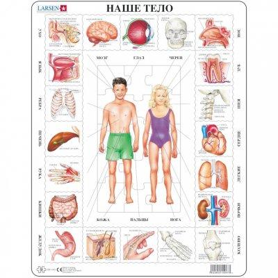Анатомия человека строение внутренних органов